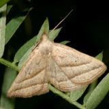 8357 - Slant-lined Owlet Moth - Macrochilo absorptalis