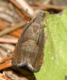 3408 - Tanacetum Root Moth - Dichrorampha vancouverana
