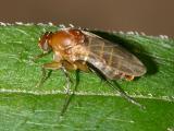 Scuttle fly
