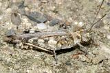Longhorn Band-Winged Grasshopper (Psinidia fenestralis