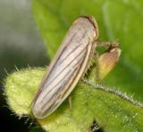 Athysanus argentarius - Silver Leafhopper