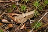 female  Sprinkled Broad-winged Grasshopper - Chloealtis conspersa