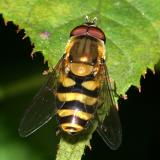 Syrphus sp. (male)