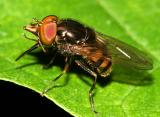Syrphid Flies - tribe Rhingiini