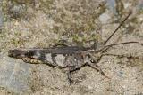 Grasshoppers genus Psinidia