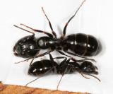 Camponotus nearcticus