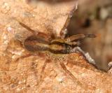 Wolf Spiders - Genus Pardosa