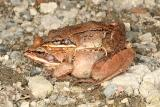 Wood Frog - Lithobates sylvaticus