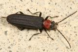 Red-necked False Blister Beetle - Asclera ruficollis