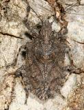 Brochymena arborea