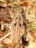Nomotettix cristatus