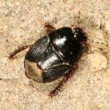 Microporus nigrita