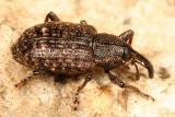 Notaris puncticollis