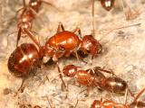 Ants genus Formica