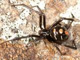 female Northern Black Widow - Latrodectus variolus