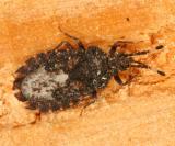 Aradus similis
