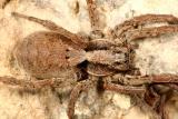 Hogna frondicola