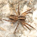 Wolf Spiders - Lycosidae
