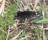 Black Swallowtail - Papilio polyxenes  female laying eggs