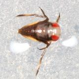 Notonecta sp. (nymph)