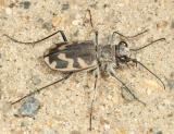 Big Sand Tiger Beetle - Cicindela formosa generosa