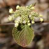 Hobblebush - Viburnum lantanoides