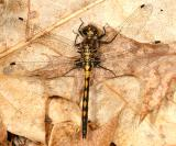 Hudsonian Whiteface - Leucorrhinia hudsonica (young male)
