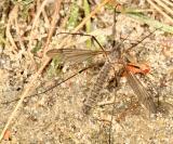 Tipula dietziana