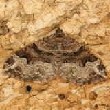 7390 -- Toothed Brown Carpet Moth -- Xanthorhoe lacustrata