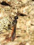 Atanycolus sp. (male)