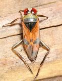 Notonecta uhleri
