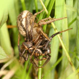 Xysticus sp. (mating pair)