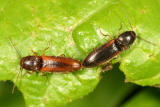 Dalopius vagus  (mating)