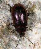 Phratora  purpurea