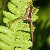 male Nursery Web Spider - Pisauridae - Pisaurina mira