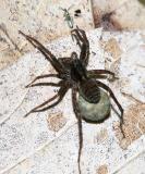 female Wolf Spider - Lycosidae - Pardosa sp. & Springtail - Lepidocyrtus paradoxus