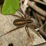 Wolf Spider - Lycosidae - Pardosa distincta