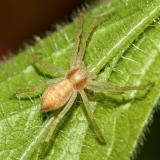 Running Crab Spider - Philodromidae