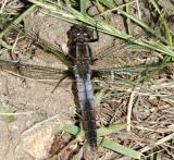 male Chalk-fronted Corporal - Ladona julia