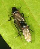 Aschiza - Scuttle Flies - Phoridae