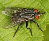 Flesh Fly - Sarcophagidae