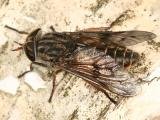 Hybomitra lasiophthalma