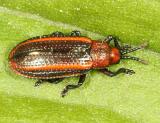 Goldenrod Leaf Miner - Microrhopala vittata