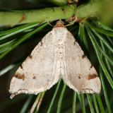 6342 -- Red-headed Inchworm Moth -- Macaria bisignata