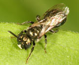 Small Carpenter Bee - Ceratina calcarata