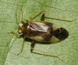 Plant Bug - Miridae - Neolygus sp.