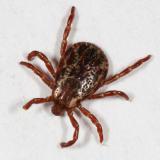male American Dog Tick - Dermacentor variabilis
