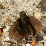 Common Roadside Skipper - Amblyscirtes vialis