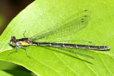 Aurora Damsel female - Chromagrion conditum