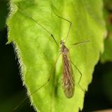 Limnophila sp.